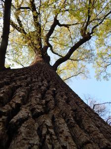 Oak (11)
