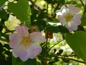 Wild Rose (9)
