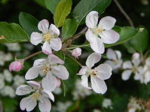 Crab Apple (4)