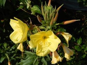 Evening Primrose (3)