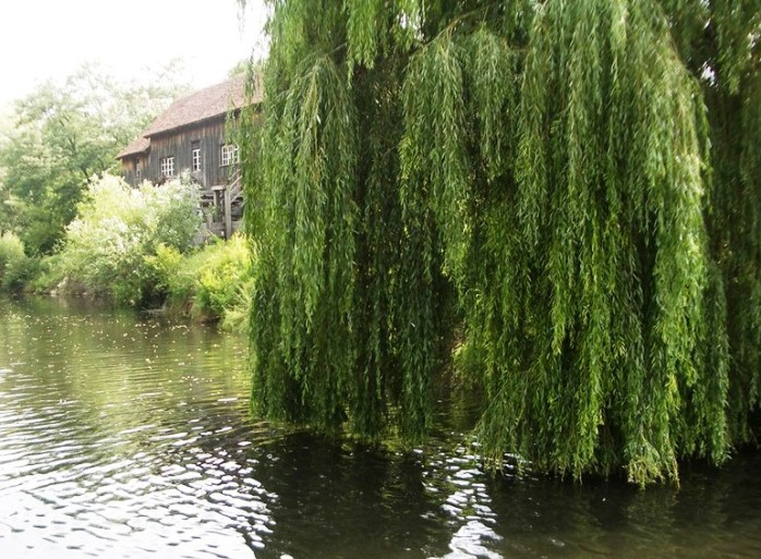 Willow 1